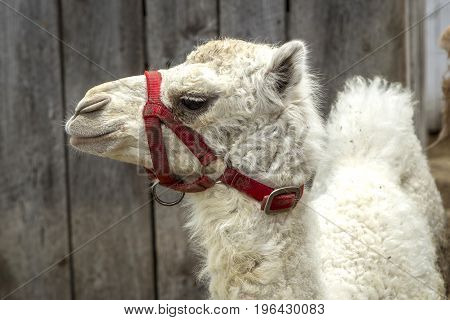 Close up  of an albino camel on a farm near Monroe Indiana.