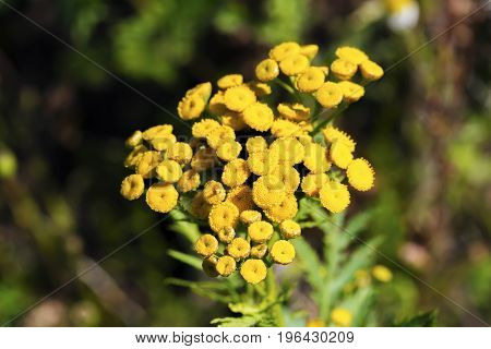 Tansy (Tanacetum vulgare Common Tansy Bitter Buttons Cow Bitter Mugwort Golden Buttons)