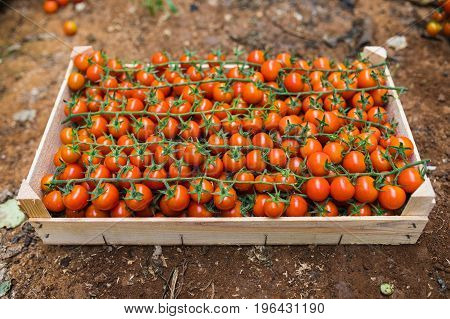 box of bunches cherry tomatoes in greenhouse. Agriculture