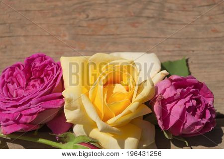 Pink and yellow beatiful roses on the wooden surface
