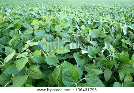 Soy field and soy plants in the foreground