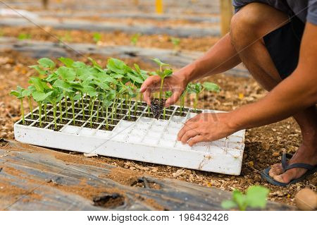 Farmer Planting Young Seedlings Of Cucumber From Pot In The Vegetable Garden