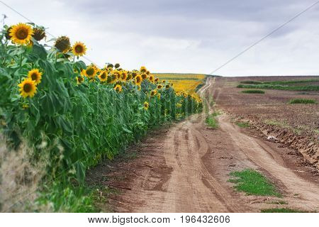 horizontal perspective view of edge of sunflower field near a dirt road with clouds above in summer