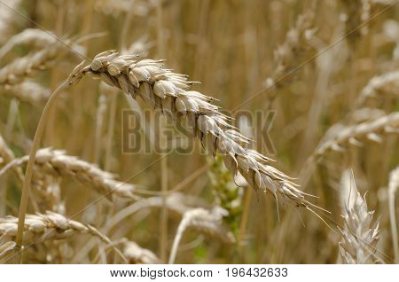 Close-up view of ripe wheat cloves before harvest on summer day