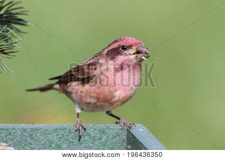 Male Purple Finch (Carpodacus purpureus) perched on a feeder