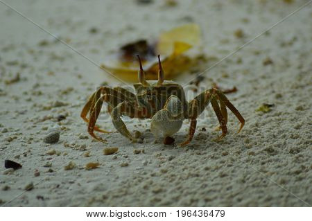 Green Crab walking over the sandy beach