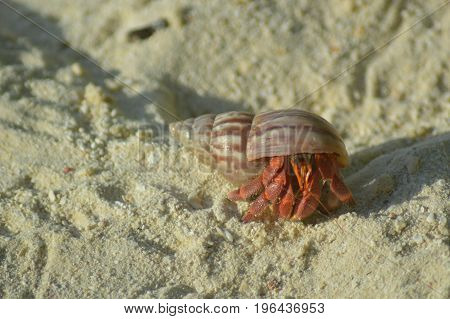 Hermit Crab walking over the sandy beach