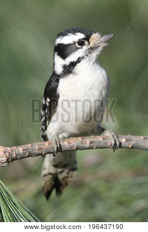 Downy Woodpecker (Picoides pubescens) on a pine tree