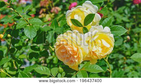 Bush Of Beautiful Yellow Roses In Bloom, Flowerbed Of Roses