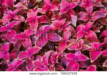 Texture Of Red Coleus Plants On A City Flowerbed, Top View, Natural Background