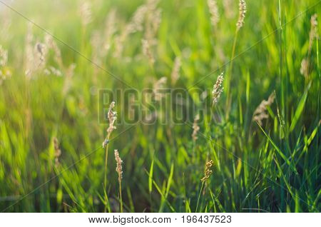 Background Of Green Juicy Grass On A Meadow In Summer, Selective Focus, Shallow Depth Of Field