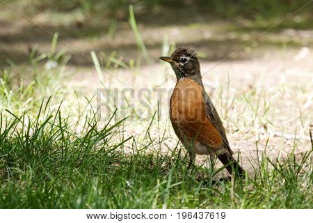 An American red breasted robin standing on green grass with the feathers on its head standing up because it is bothered by something