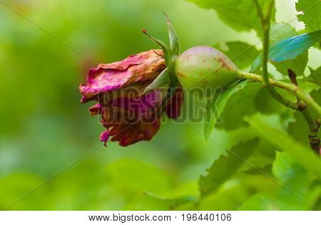 Summer day. Hips of a dogrose green. Macro photography. In the frame the rose hips are a berry and a faded red flower. Horizontal frame