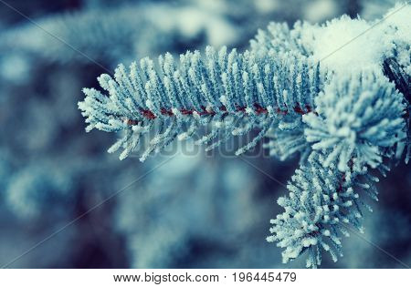 Winter Frost On Spruce Tree Close-up