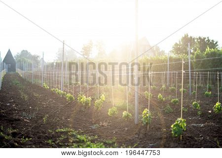 Young vineyard field with sun. Natural background. Concept of alcohol. Young plants. Wine