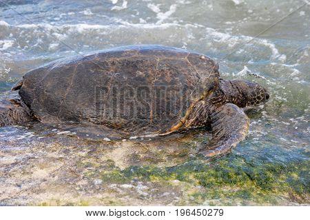 horizontal image of turtle on Laniakea Beach Hawaii