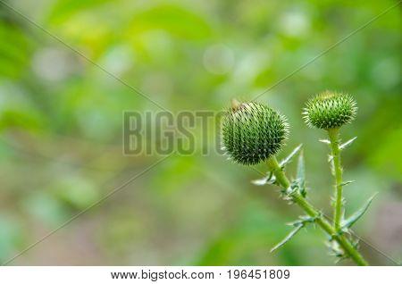 Carduus acanthoides Asteraceae Cirsium, prickly plant. UK British symbol.