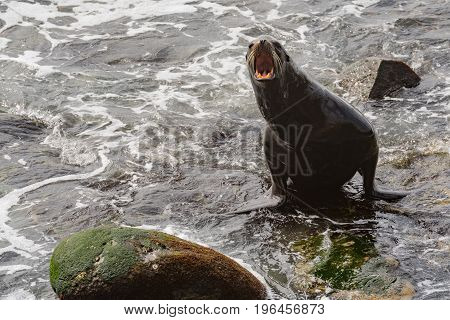Sea Lion Barks as it Exits the Water along Pacific coast