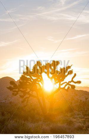 Sun Glares Through Joshua Tree