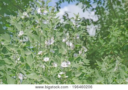 Marsh Mallow Althaea Officinalis