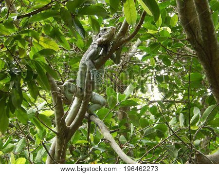 An iguana resting on the branches of a tree in the Amazon jungle