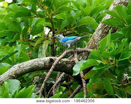 Blue bird on the branches of a amazon tree