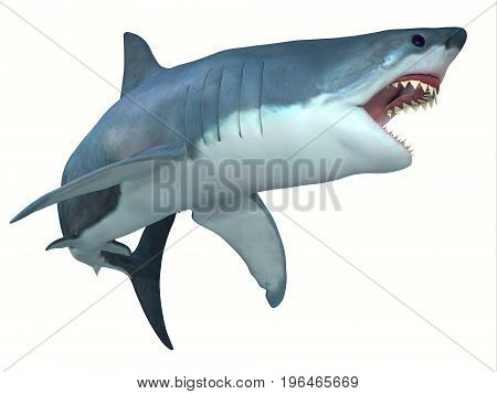 Dangerous Great White Shark 3d illustration - The Great White shark can live for 70 years and grow to be 21 feet long and live in coastal surface waters.