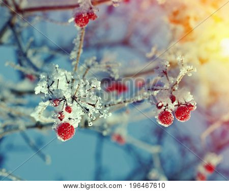 Red Berries Of Viburnum With Hoarfrost