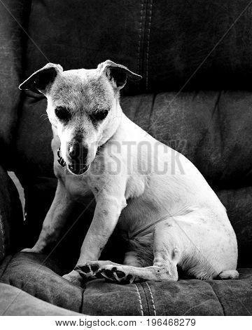A sweet old Jack Russel Terrier looks ferocious when awoken from her nap.