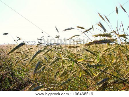 Wheat field. Rural scenery under the shining sunlight. The maturation of wheat grains. The concept of a rich harvest