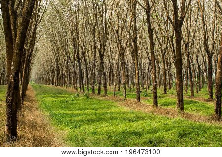 Forest green background Rubber plantation India rubber forest Island phuket Thailand