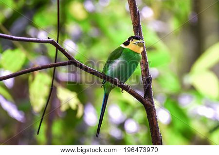 Long-tailed Broadbill bird perching on a branch in the nature.
