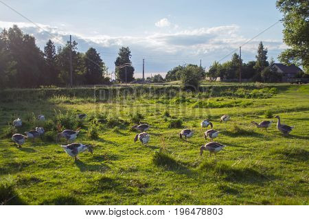 Group of geese grazing in a meadow on a sunny day