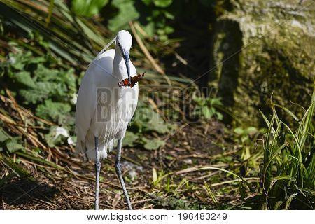 Lovely Little Egret Bird Gretta Garzetta On Riverbank In Spring Sunshine Eating Butterfly It Has Jus