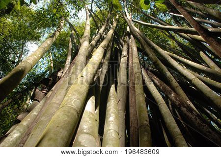 growth of tropical woody bamboos in a national park