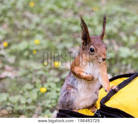 Fluffy Red Squirrel Sitting On Bag Against Blurred Green Grass Background