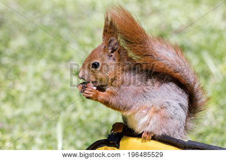 Young Red Squirrel Sitting On Bag And Eating Nut Closeup