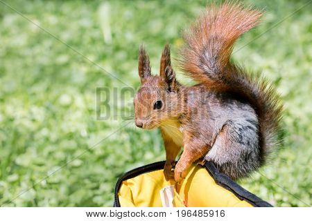 Little Squirrel Searching For Food In Bag On Green Grass Background