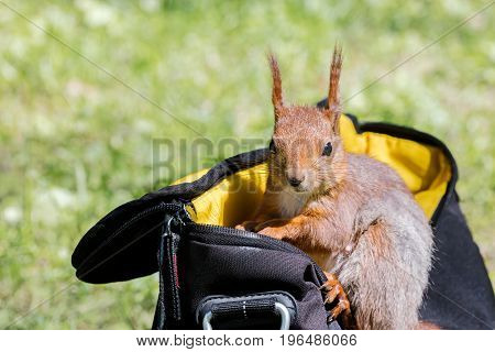 Red Squirrel Sitting In Bag On Green Grass And Searching For Food