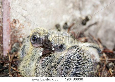 Pigeon Children In The Nest