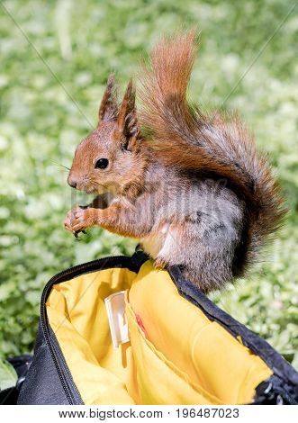 Red Squirrel Sitting On Bag And Eating Nut On Blurred Grass Background