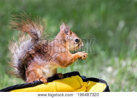 Little Red Squirrel Sitting On Bag And Holding A Nut On Blurred Green Grass Background