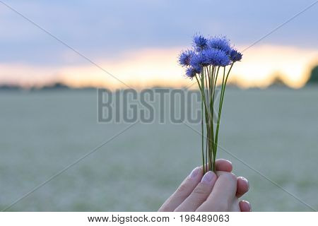 Hands holding a bouquet of cornflowers against the background of the evening sky and a flower field