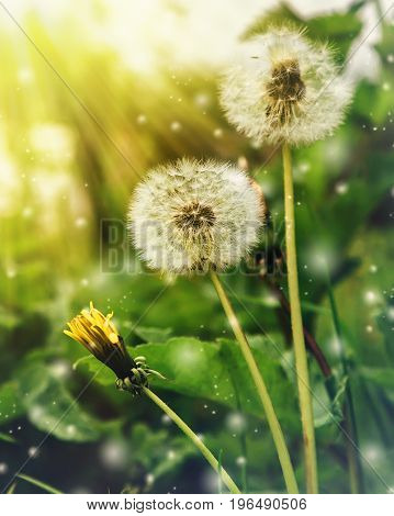 Three dandelions under the warm rays of the sun.