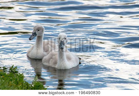 Two Young Cygnets Swimming In A Lake