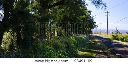 Cedars Along A Road To Wind Turbines At Upolu Point, Big Island