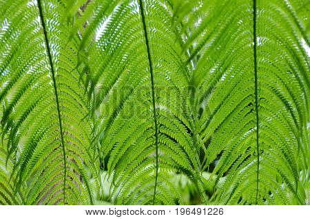 Beautiful Patterns Created By Giant Fern Leaves In Forest Near Kilauea Crater