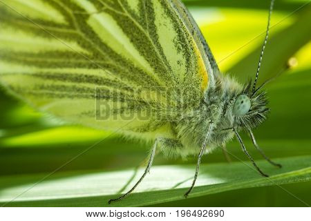 The green-veined white - Pieris napi is a butterfly of the family Pieridae. Wonderful portrait of a beautiful butterfly. The butterfly sits on a leaf in dense grass. The background is saturated green.