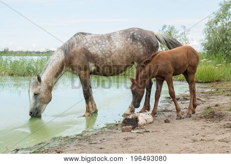Mother horse and young foal at a watering place by the lake near the village