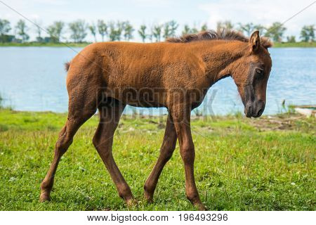 A young foal is grazing near a pond near a village